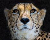 Ritratto ravvicinato di maestoso ghepardo nella natura selvaggia — Foto stock