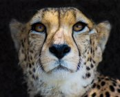 Retrato de primer plano de majestuoso guepardo en la naturaleza salvaje - foto de stock