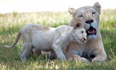 Lioness with Lion Cub at wild life — Stock Photo