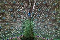Павлин показывает хвостовые перья, полный кадр — стоковое фото