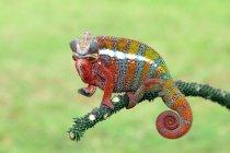Retrato de un camaleón de primer plano, enfoque selectivo - foto de stock