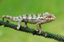 Verticale d'un caméléon, vue de plan rapproché, foyer sélectif — Photo de stock