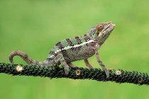 Chameleon on a branch, closeup view, selective focus — Stock Photo