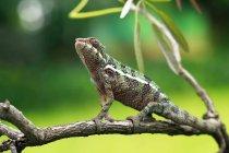 Caméléon sur une branche, vue de plan rapproché, foyer sélectif — Photo de stock
