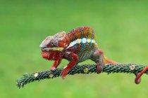 Retrato de un camaleón, vista de cerca, enfoque selectivo - foto de stock