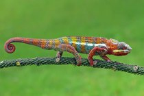 Chameleon walking on branch, blurred background — Stock Photo