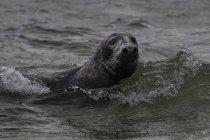 Seal swimming in ocean, Great Blasket Island, Contea di Kerry, Irlanda — Foto stock