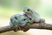 Two Dumpy frogs sitting on branch, closeup view — Stock Photo