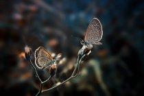 Dos mariposas sobre una flor sobre fondo borroso - foto de stock