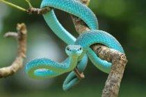 Vista de cerca de serpiente víbora azul sobre una rama, fondo borroso - foto de stock