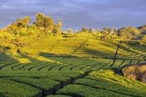 Живописный вид на чайную плантацию, Чифели, Западная Ява, Индонезия — стоковое фото