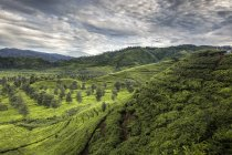 Живописный вид на чайную плантацию, Чифели, Чунг, Западная Ява, Индонезия — стоковое фото