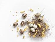 Huevos de codorniz en un nido de aves con flores de mimosa amarillas - foto de stock