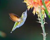 Жіночий Анни Hummingbird харчуються алое квітка — стокове фото