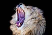 Männliche Löwen brüllen vor schwarzem Hintergrund — Stockfoto