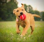 Labrabull Puppy courir avec balle dans la bouche — Photo de stock