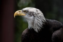 Profile of a bald eagle against blurred background — Stockfoto