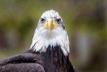 Retrato de un águila calva, fondo borroso - foto de stock