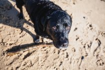 Black Labrador dog playing with a stick at the beach — Stock Photo