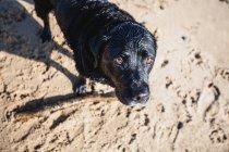 Cão Labrador preto, brincando com um pau na praia — Fotografia de Stock