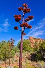 Scenic view of Agave flower stalk, Sedona, Arizona, America, USA — Stock Photo