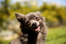 Портрет чихуахуа собаки проти розмитого фону — стокове фото