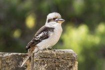 Porträt eines Kookaburra-Vogels an einer Wand vor verschwommenem Hintergrund — Stockfoto