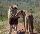 Милий лева і левиця в Дике життя — стокове фото
