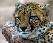 Closeup portrait of majestic cheetah in wild nature — Stock Photo