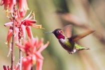 Крупным планом вид колибри, парящей цветами алоэ — стоковое фото
