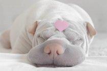 Шар-пей собака с сердцем любви на голове — стоковое фото