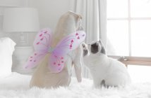 Shar-pei dog wearing butterfly wings playing with a British shorthair cat — Stock Photo