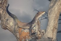 Black-headed monitor in tree, closeup view, selective focus — Stock Photo