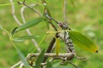 Caméléon attrapant un insecte, vue de plan rapproché — Photo de stock