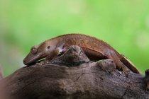 Vista lateral de cresta gecko en una rama, vista de primer plano, enfoque selectivo - foto de stock