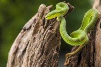Зеленая змея гадюки ямы на дереве, селективный фокус — стоковое фото