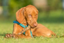 Portrait of a Male Vizsla puppy Dog playing with a wooden stick, blurred background — Stock Photo