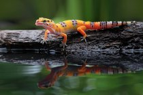 Leopard gecko on a rock reflecting in water, closeup view, selective focus — Stock Photo