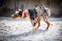 Австралійська вівчарка собака на пляжі струшуючи воду — стокове фото
