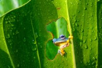 Tree frog looking through a hole in a leaf, closeup view — Stock Photo