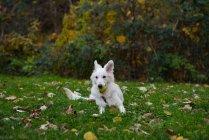 Милая белая собака, лежащая в траве — стоковое фото