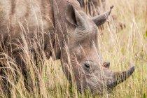 Majestueux rhinocéros debout à la nature sauvage — Photo de stock
