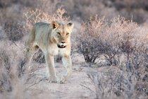 Giovane leonessa a piedi attraverso il bush alla natura selvaggia — Foto stock