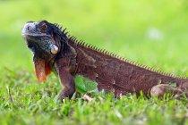 Retrato de una iguana en hierba verde, enfoque selectivo - foto de stock