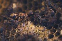 Guêpes en papier sur le nid avec pupes, Melbourne, Victoria, Australie — Photo de stock