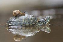 Vista lateral del caracol sobre una tortuga en el agua, enfoque selectivo - foto de stock