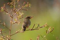 Бар-крилатий prinia сиділа в дереві, проти розмитого фону — стокове фото