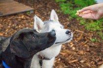 Женщина дает две собаки удовольствие, вид крупным планом — стоковое фото