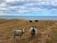 Vista cénico dos carneiros em um campo, Nordby Bakker, Issehoved, Samsoe, Dinamarca — Fotografia de Stock