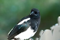 Portrait of a bird perched on a wooden fence against blurred background — Stock Photo
